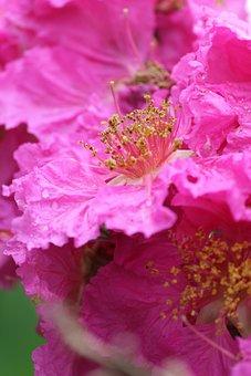 Flowers, Pollen Grain, Pink, Pink Petals