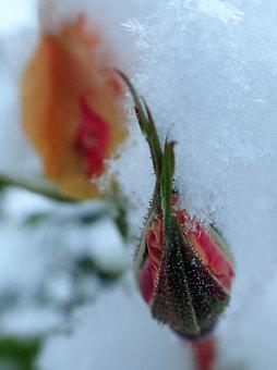 Rose, Bud, Winter, Frozen, Snow