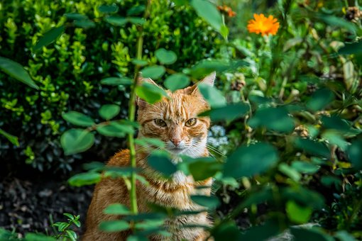 Roses, Flowers, Cat, Rudy, Pet, Animal, Tomcat, Kitten