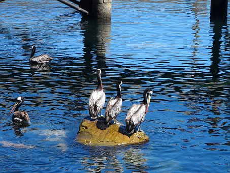 Pelican, Sea, Costa, Beach, Water, Summer, Pichidangui