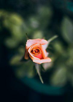 Bloom, Flower, Beautiful, Soft, Green, Fresh, Pink