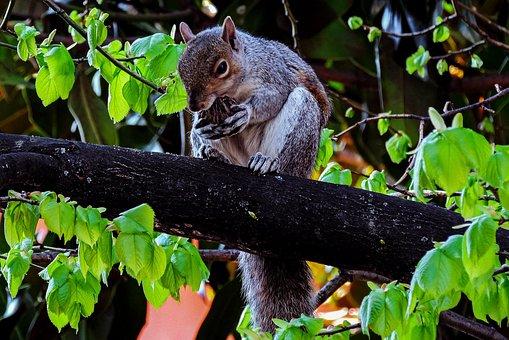 Squirrel, Squirrels, Nature, Autumn, Peanut, Rodent