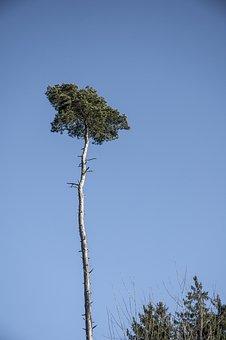 Palms Of The North, Pine, Winter, Sky, Switzerland