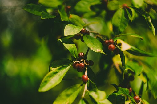 Tree, Leaves, Berries, Green, Red, Branch, Plant