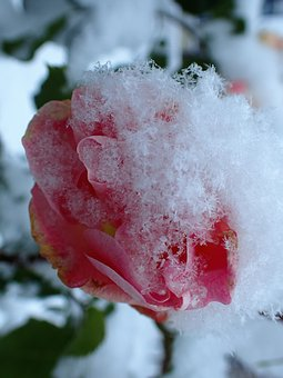 Rose, Frozen, Pink, Snow, Winter