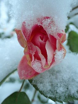 Rose, Winter, Pink, Frozen, Snow