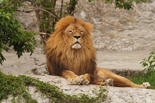 Lion, Animal, Zoo, Resting