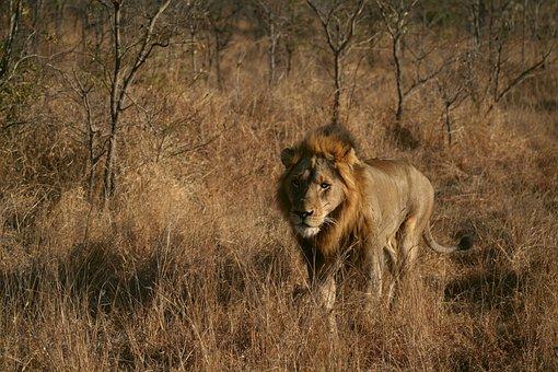 Mammal, Animal, Nature, Male Lion, Lion, Wildlife