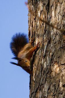 Squirrel, Animal, Nature, Possierlich, Rodent, Nager