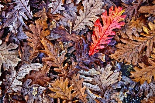 Oak, Leaves, Oak Leaves, Fallen Leaves, Autumn Leaves