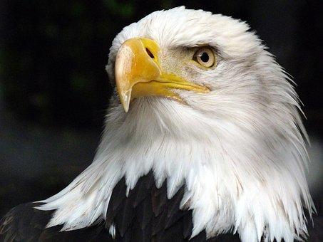 The Animal, Adler, White Tailed Eagle, Bald Eagle