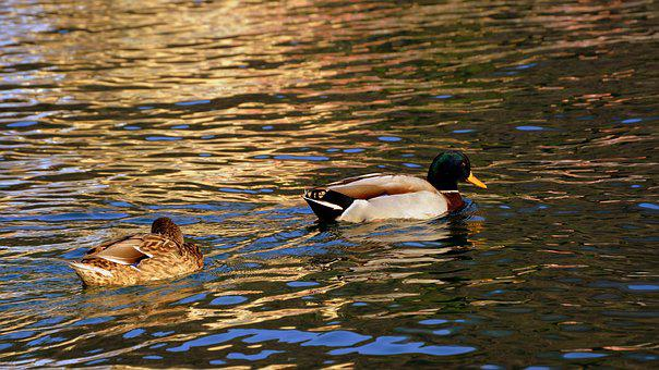 Duck, Couple, Swim, Follow, Water, Beak, Animal, Bird