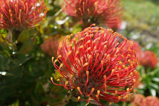 Native, Garden, Botanical, Floral, Australia, Botany