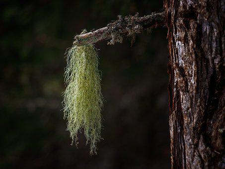 Lichen, Forest, Nature, Moss, Green, Tree, Branch