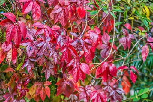 Foliage, Fruit, Red, Burgundy, Autumn, Nature, Plant