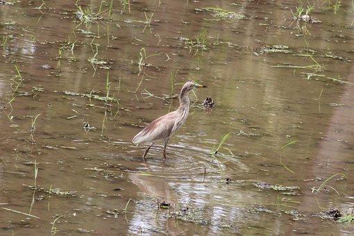 Crane, Field, Water, Crop, Muddy
