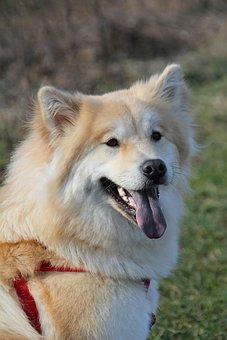 Eurasians, Dog, Pet, Cute, Animal Photo, Sweet, Young
