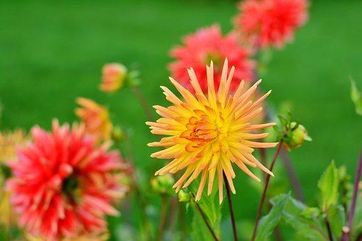 Dahlias, Dahlia Cultivas, Cactus Dahlia, Flower