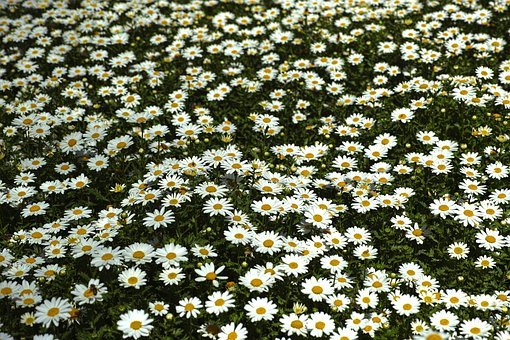 Daisy, Daisies, Flower, Macro, Flowers, Nature
