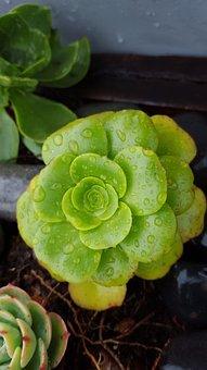 Succulent, Plant, Dew, Garden, Nature, Decorative