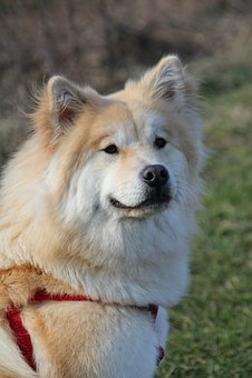 Eurasians, Dog, Pet, Cute, Sweet, Young, Dog Breed