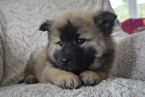 Dog, Pup, Eurasier Puppy, Dog Nova, Domestic Animal