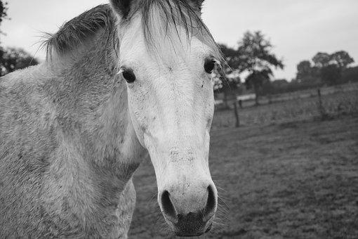 Horse, Photo Black White, Head, Nostrils, Eyes