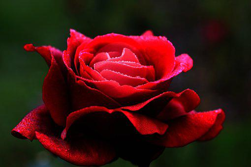 Red Rose, Flower, Love, Heart, Petals, Romantic