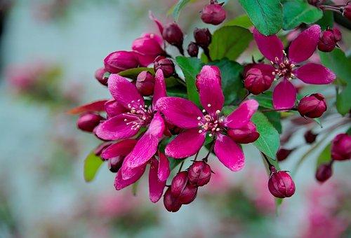Spring, Apple, Apple Flower, Flowers, Nature, Tree, Sad