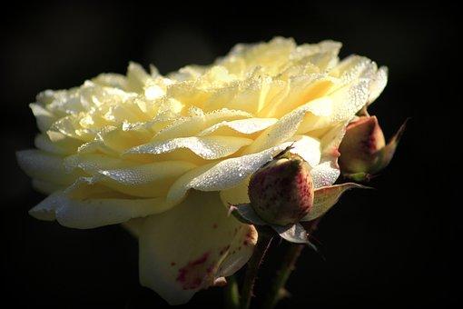 Rose, Flower, Love, Rose Flower, Nature, Flora, Garden