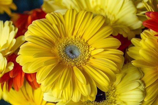 Margaret, Yellow, Garden, Spring, Nature, Perfume