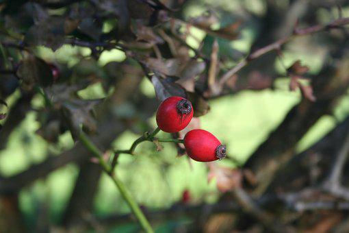 Red, Berries, Autumn, Hawthorn, Haws, Berry, Nature