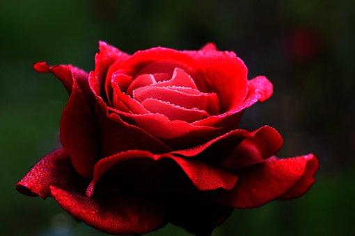 Red Rose, Flower, Love, Heart, Petals, Romantic