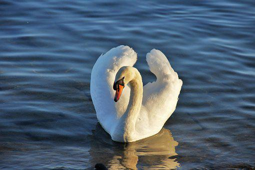 Swan, Lake, Water, Water Bird, White, Nature