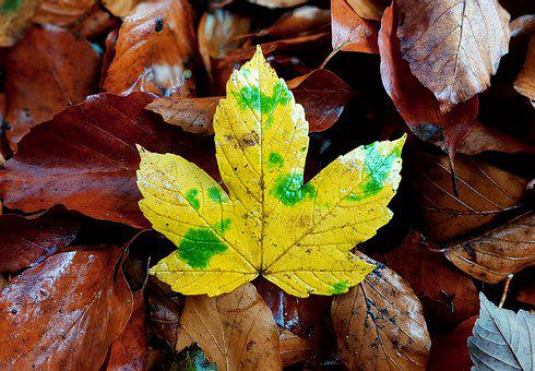 Maple, Maple Leaf, Maple Leaves, Leaves, Fall Foliage