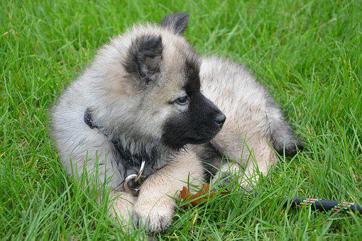 Puppy, Young Dog Lie Down, Grass, Eurasier, Nova, Young