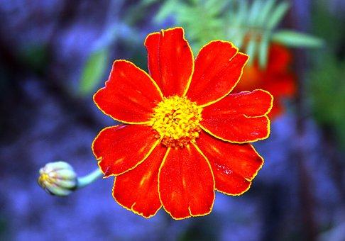 Orange Blossom, Petals, Flowers Petals, Garden