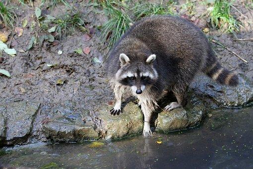 Raccoon, Bear, Nature, Animal, Furry, North America