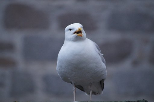 Seagull, Bird, Gull, Animal