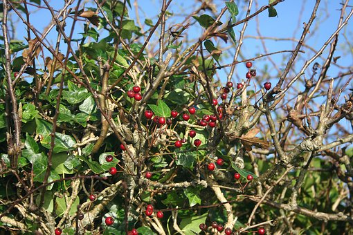 Vegetation, Berries, Autumn, Green, Red, Twigs, Shrubs