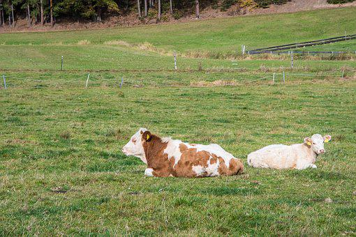 Cow, Simmental Cattle, Beef, Livestock, Animal