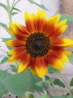 Sun Flower, Summer, Yellow Orange, Color, Sun, Plant