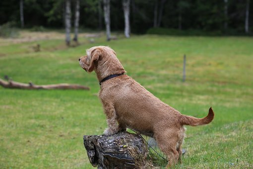 Basset, Dog, Forest, Nature, Stump, Watching, Scouts