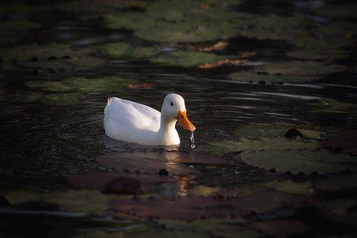 Duck, White Duck, White, Animal, Lake, Water Bird, Bird