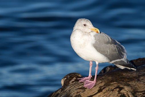 Seagull, Beach, Water, Blue, White