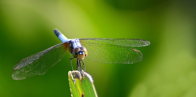 Dragonfly, Insect, Nature, Wildlife, Animal, Leaf
