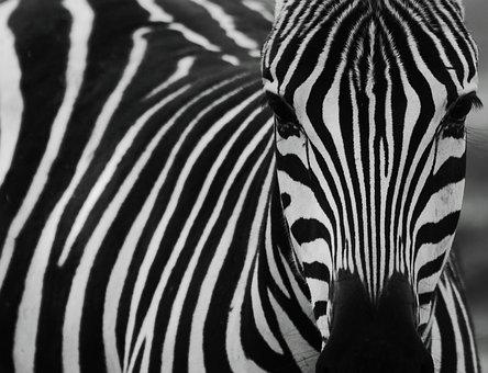 Zebra, Black, Black And White, Zebra Stripes, Striped