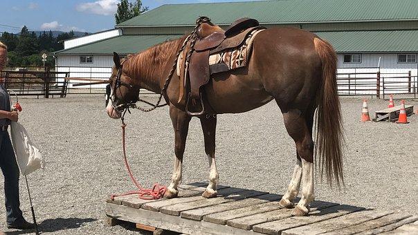 Horse, Equine, Animal, Bridge, Training, American Paint