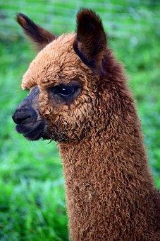 Alpaca, Animal, Furry, Fur, Fluffy, Mammal, Head, Brown