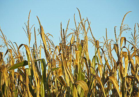 Corn, Ready To Be Harvested, Foliage, Yellow, Brown